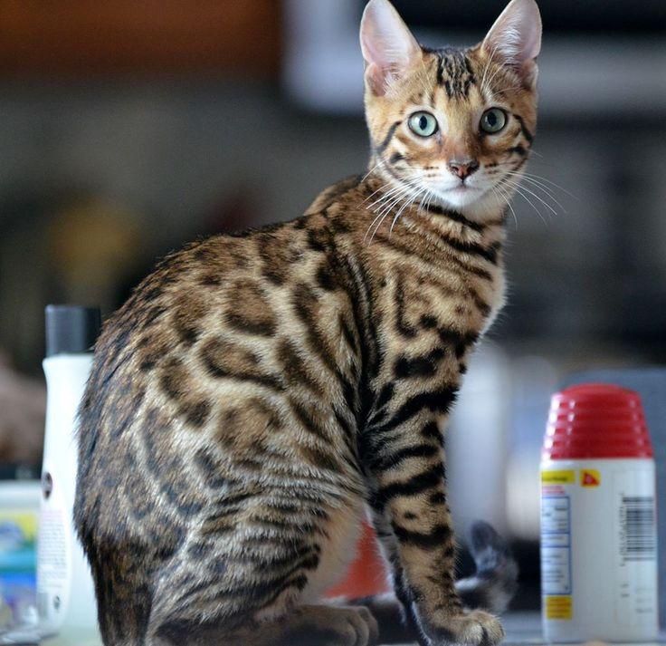 Savannah cat vs bengal size