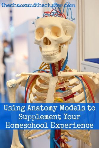 Using Anatomy Models to Supplement Your Homeschool Experience
