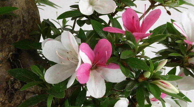 rhododendron indicum satsuki bonsai | Satsuki-Azaleen (Rhododendron indicum) - 2 Blütenfarben an einem ...