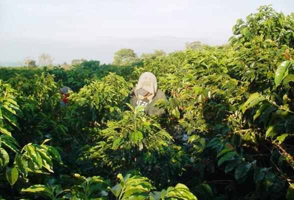 Quindío | Turismo Eje Cafetero - El Cultivo del Café clave en la formación y desarrollo del Quindío.