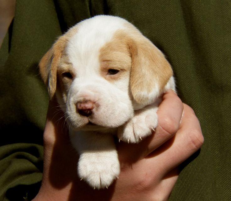 I want a lemon spotted beagle so bad!!