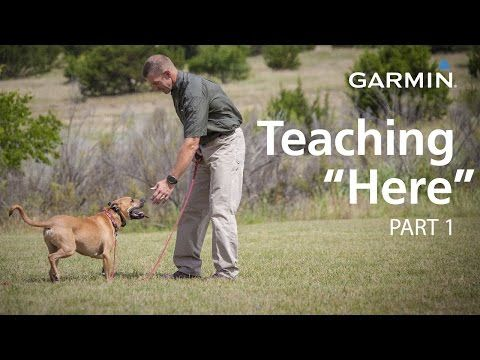 E Collar Training With Garmin Teaching Here Or Come Part 1