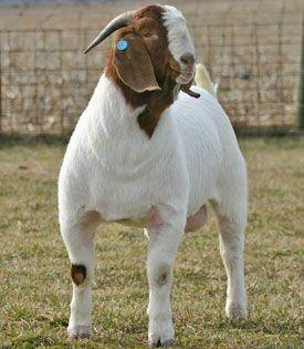 Welcome to Lewis Creek Boer Goats - Lewis Creek Trump- #babygoatfarm