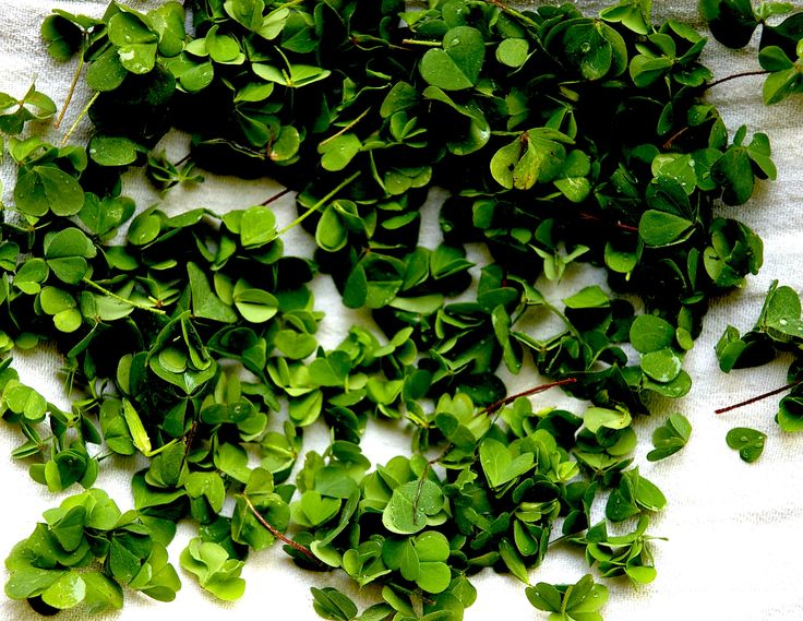 wood sorrel - ready for tonight's tatar of trout, cucumber and crispy farro...