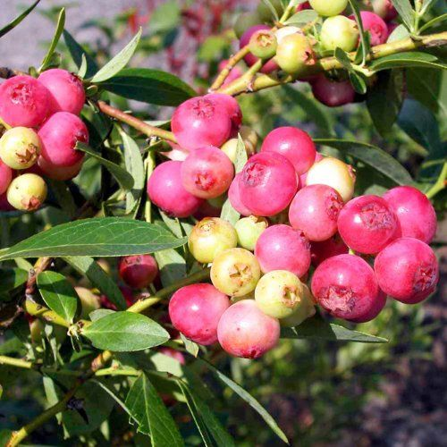 1 Gallon Pink Lemonade Blueberry Shrub  Sweet Fruit That Is Bright Pink  Good for Colder Climates * For more information, visit image link.