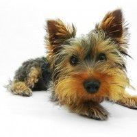 #dogalize Razas de Perros: Yorkshire Terrier caracteristicas y cuidados #dogs #cats #pets