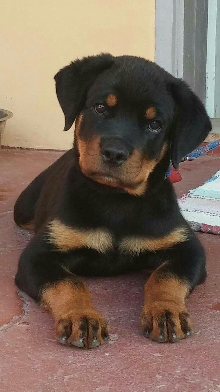 Rottweiler Bigdog Rottweiler Puppies Rottweiler Dog Dog Breeds