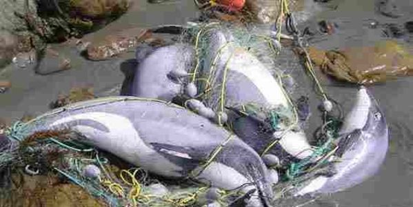 PLEASE HELP! Sign Petition. Ban gillnets and trawling in Maui's and Hector's dolphin habitat