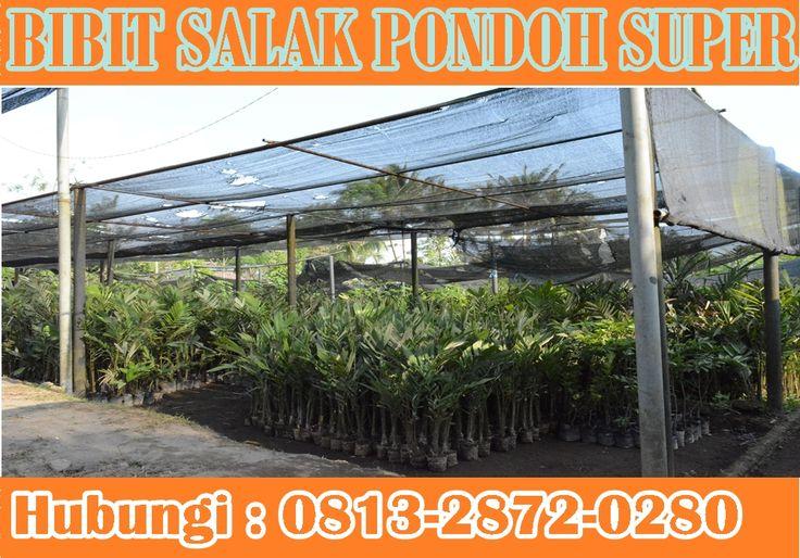 menyediakan Bibit Salak Pondoh Super Madu. Pemesanan HUB : 0813-2872-0280 (Bpk. Subambang) Aktif 24 jam nonstop.
