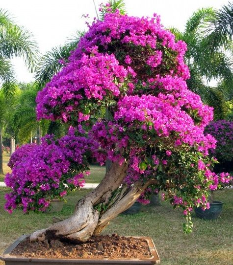 Bougainvillea~~~I have never seen one with a trunk like this but maybe it's a…