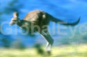 Kangaroo in Slowed motion. Eastern Grey Kangaroos (Macropus giganteus) are common in the Warrumbungles National Park, NSW Australia. Photograph By Colin G Radford #WildlifePhotography