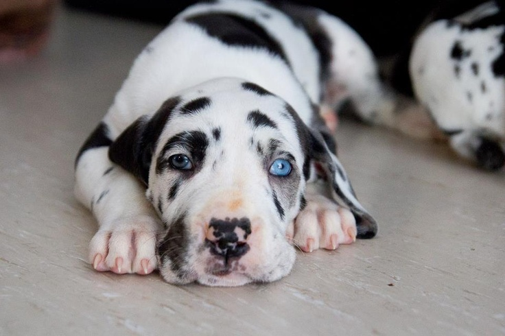 Harlequin great dane puppy, 5 weeks old. I can't wait till she can come home. :)