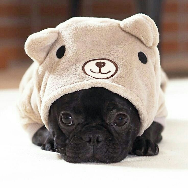 Be still our hearts with the #cuteness!   www.jointhepugs.com/  #pugpower #pugsnotdrugs #puglife #pugs #puglover #dogs #animals #pug