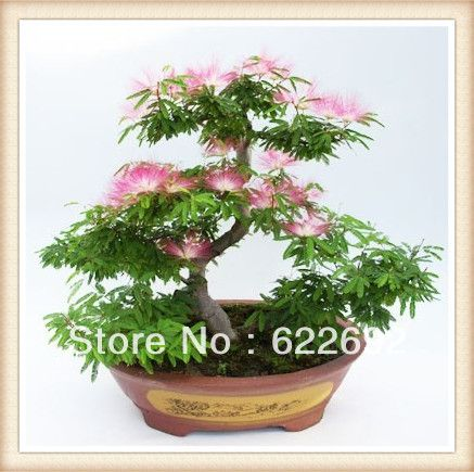 albizia+bonsai   50 pz albizia bonsai cinese semi di semi di fiori di spedizione ...