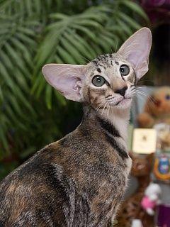 Каталог Продажа котят породы Курильский бобтейл зоомагазин Кошабака