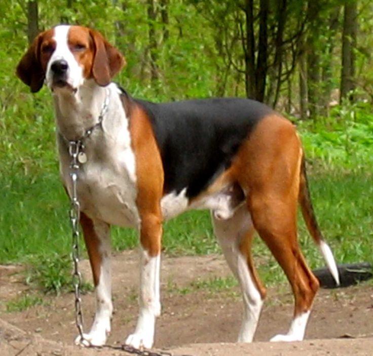 Finnish Hound, Suomenajokoira, Suomenajurit, Finnish Bracke Dog