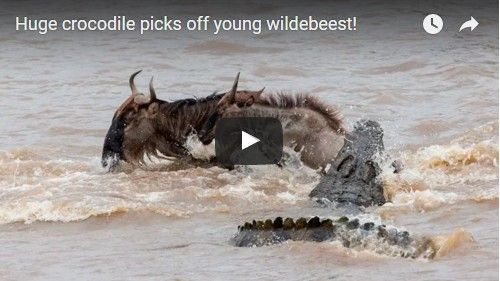 Beautifulplace4travel: Huge crocodile picks off young wildebeest!