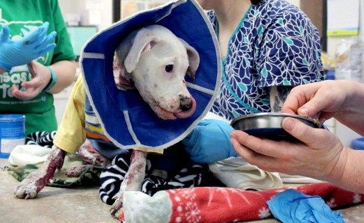 Update: 4-month-old puppy in Kansas City set on fire recovering • Pet Rescue Report