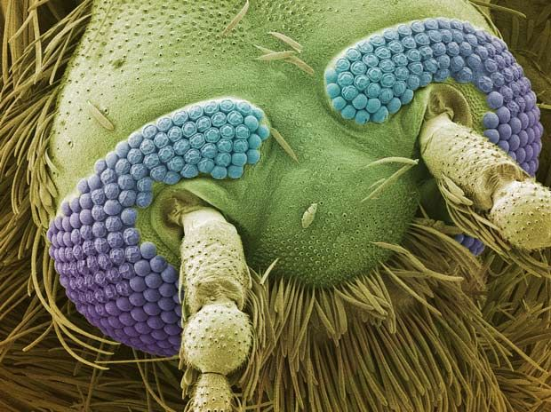 Microcosmos: coloured scanning electron micrograph (SEM) of the head of a mosquito