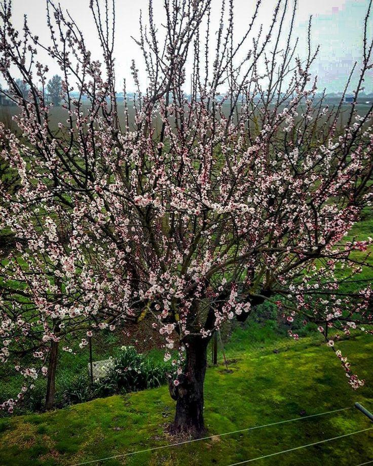 #primavera #ravenna_friends #ig_italia #albicocco #faenza #igersoftheday #vivoemiliaromagna #vivo_italia #igersravenna #volgoitalia #volgoemiliaromagna #spring #volgoravenna #loves_emiliaromagna #loves_world #loves_madeinitaly #emiliaromagna_friends #ig_ravenna #emiliaromagna_super_pics #visititalia #loves_italia #ig_emiliaromagna #ibcemiliaromagna #italia_bestsunset by roberto__m70