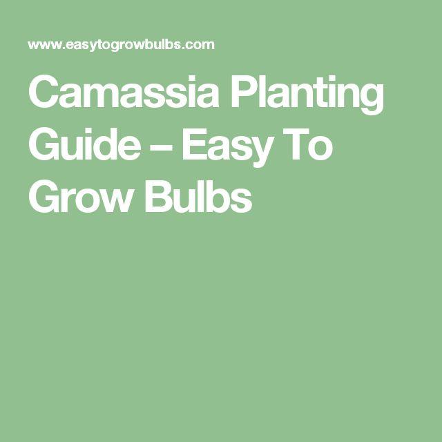 Camassia Planting Guide – Easy To Grow Bulbs