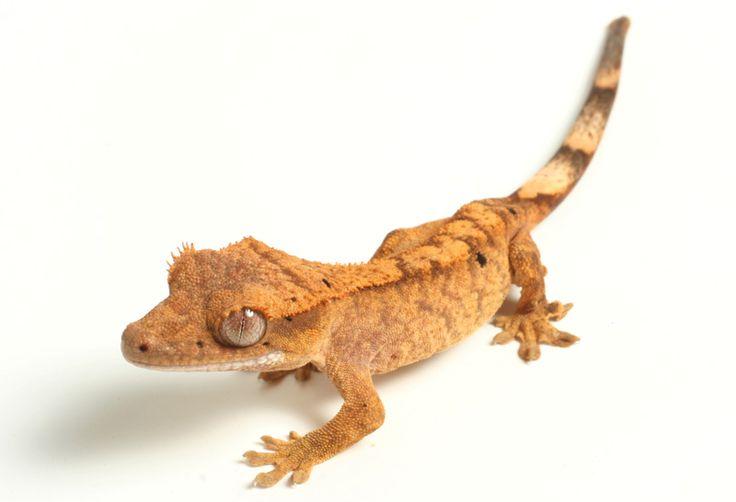 Pangea's Crested Gecko care sheet