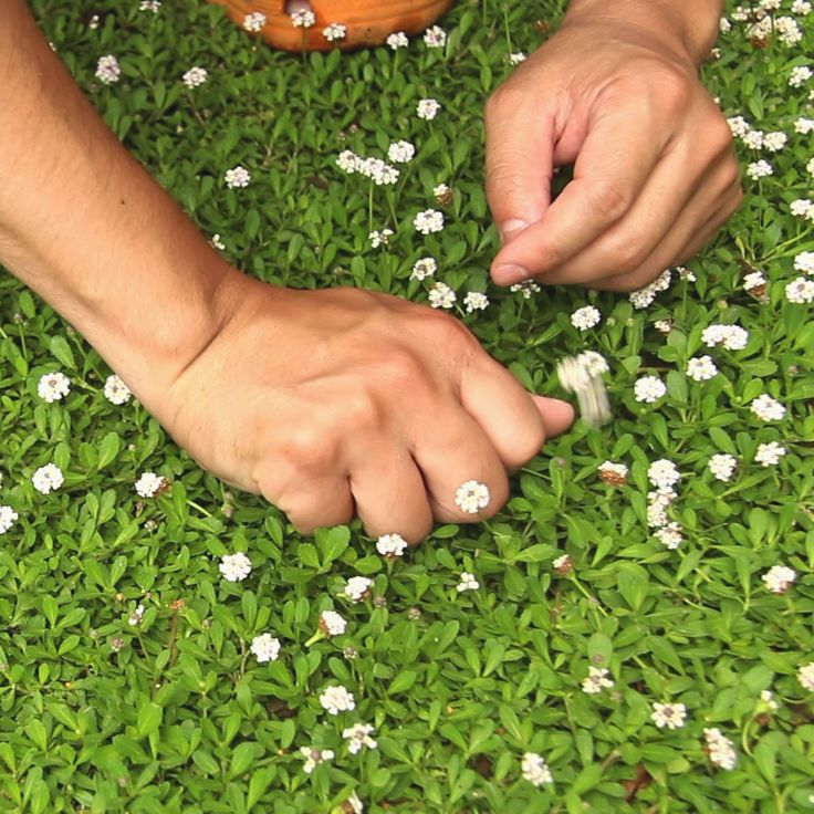 クラピア<1>芝生に代わる新しいグランドカバーの魅力! | クラピア大好き
