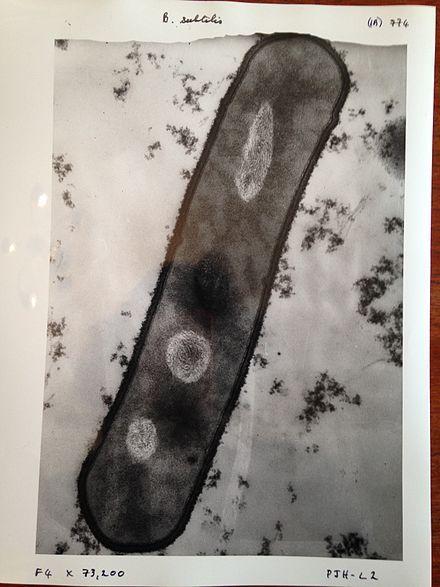 Image of bacillus subtilis taken with a 1960s electron microscope.