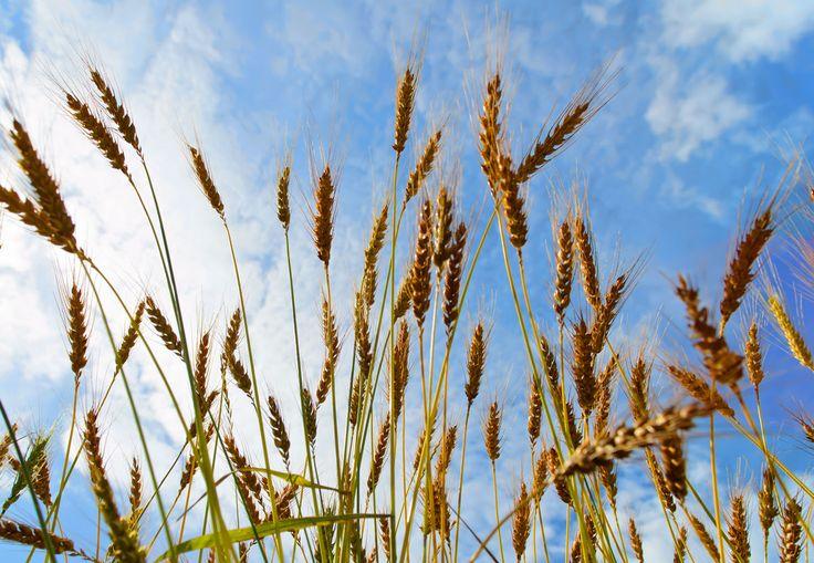 Grain from Livø
