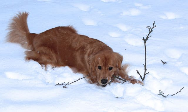 My golden retriever loves the snow!