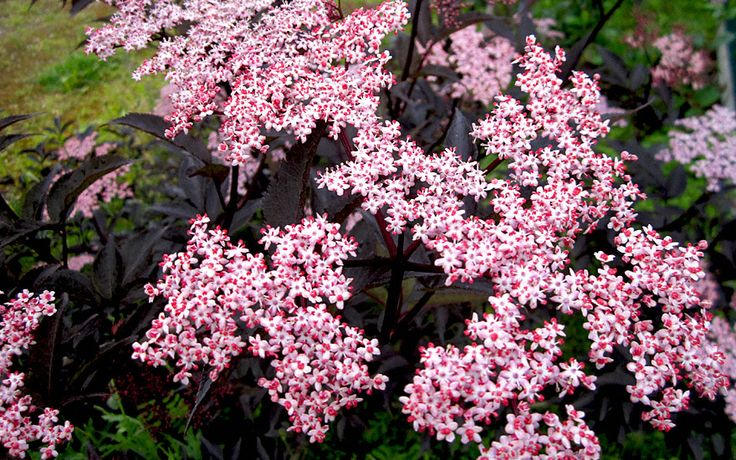 sambucus nigra 39 black beauty 39 landscape plants and ideas pinterest. Black Bedroom Furniture Sets. Home Design Ideas