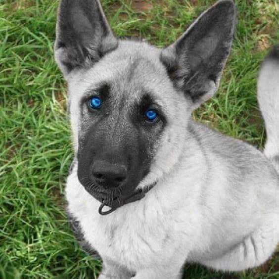 Gorgeous silver German Shepherd Puppy by @guven_gugercin