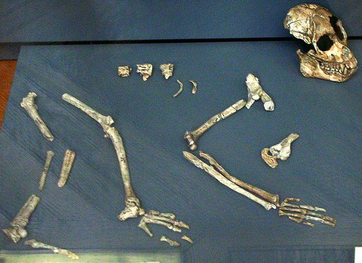 File:Proconsul nyanzae skeleton.jpg From the Natural History Museum, Paris