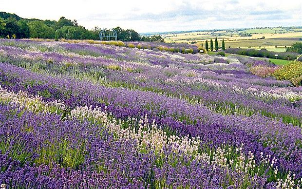 The designs will include Yorkshire lavender and plenty of scented herbs, which will smell divine!