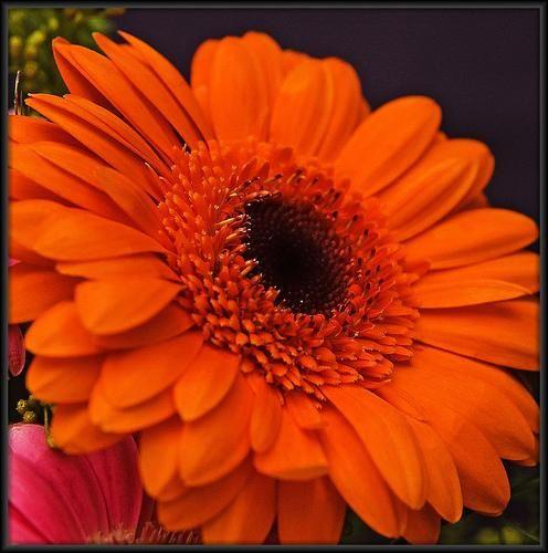 Oransje gimini