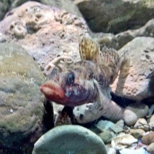 #gozzo #labbra da #baciare ??? #pesce #fish  #acquario #mare