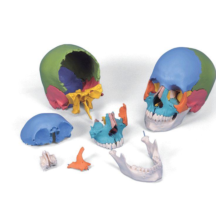 Modèle anatomique Crâne articulé 3B Scientific-version didactique, 22 pièces