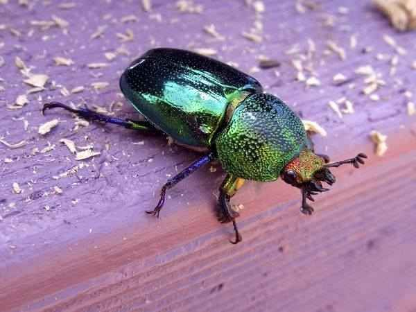 This Christmas Beetle. | 19 Everyday Sights In Australian Backyards