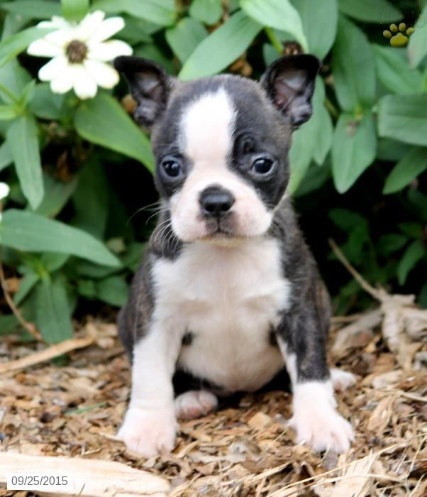 Boston Terrier Puppy for Sale in Pennsylvania - Tap the pin for the most adorable pawtastic fur baby apparel! You'll love the dog clothes and cat clothes! <3