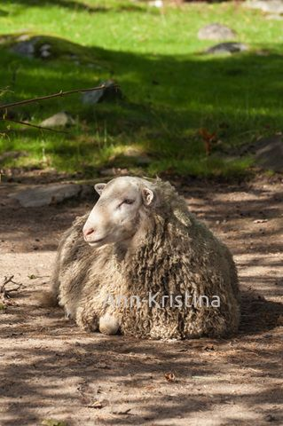By Ann-Kristina Al-Zalimi, lammas, lamb