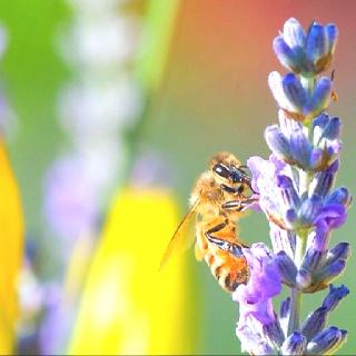 Honey bee on lavender @ my backyard, Palo Alto