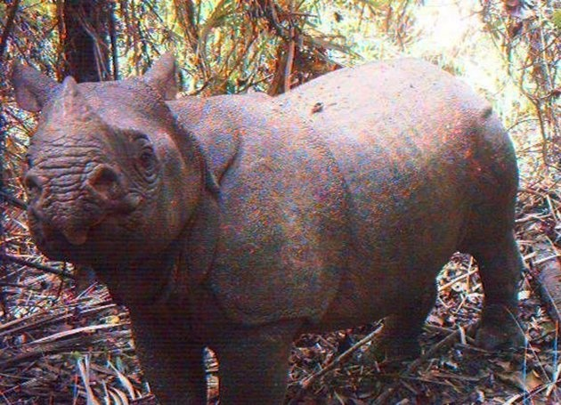 In this undated image released by Ujung Kulon National Park, an adult male Javan rhino is caught by a video trap at Ujung Kulon National Park in West Java, Indonesia. Camera traps in the Indonesian park have captured images of 35 endangered Javan rhinos, five of them calves. (AP Photo/Ujung Kulon National Park)