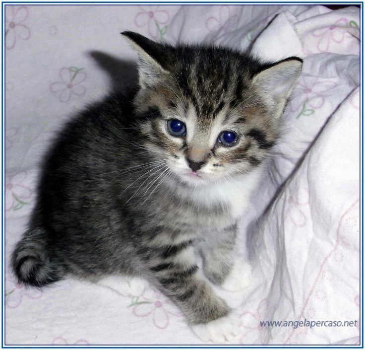 micio piccolo con grandi occhi azzurri