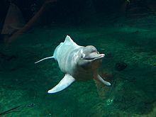 El artículo dice que el Inia geoffrensis también es llamada el delfín rosado, boto, bufeo, delfín del Amazonas y tonina. Son vivir en la cuenca del Amazonas, la cuenca alta del río Madeira en Bolivia y la cuenca del Orinoco. El artículo dice que son muy grande y machos adultos llegan a los 185 kg y pueden ser 2.5 m de largo.  Pueden maniobrar fácilmente en las agua.  Comen principalmente pesas uncluyendo las corvinas, tetras y pirañas. También comen tortugas de río y cangrejos a veces.