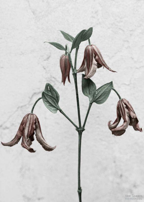 Vee Speers – Botanica, Clematis Integrifolia