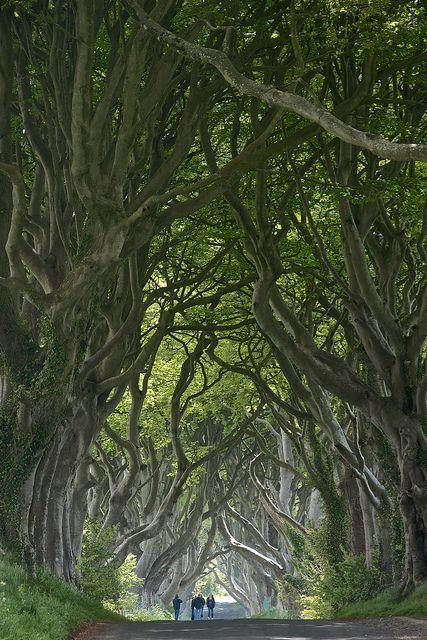 """ The Dark Hedges, Ballymoney / Northern Ireland (by ScrewJ). """