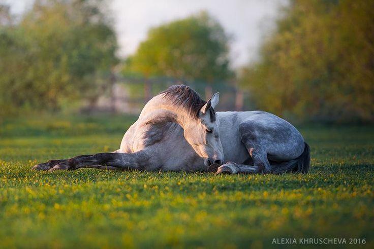 "scarlettjane22: ""  Arab-trakehner Tintoretto. © Alexia Khruscheva | www.photolex.net Alexia Khruscheva - equestrian photography """