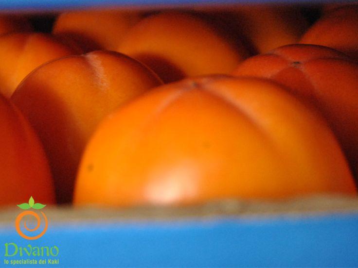 Rojo brillante persimmons in our cold stores. Info: www.divanosrl.it/en  Kaki Rojo Brillante nelle nostre celle frigo. Info: divanosrl.it #kakidivano #soledautunno