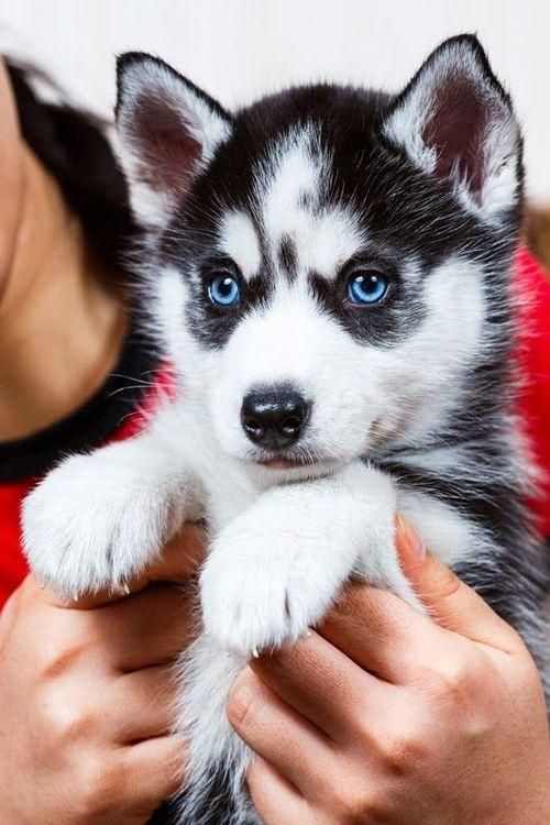 Siberian Husky Puppy With Bright Blue Eyes