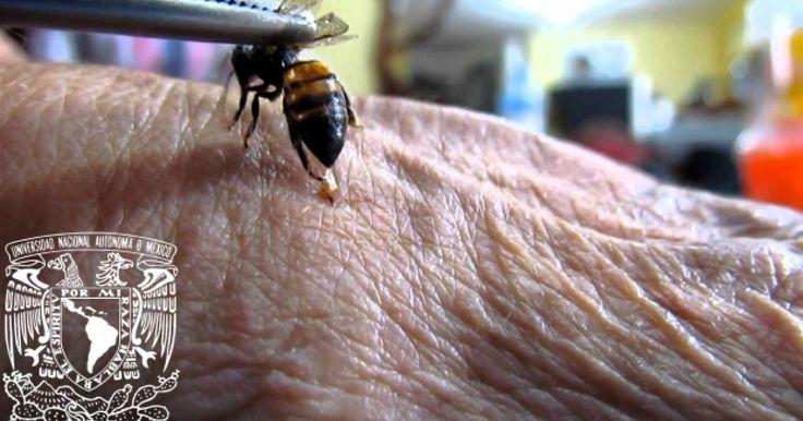 Ciudad de Mexico.-Un grupo de investigadores de la Escuela de Medicina de la Universidad de Washington ha demostrado que elveneno de abeja es capaz de matar el VIH.